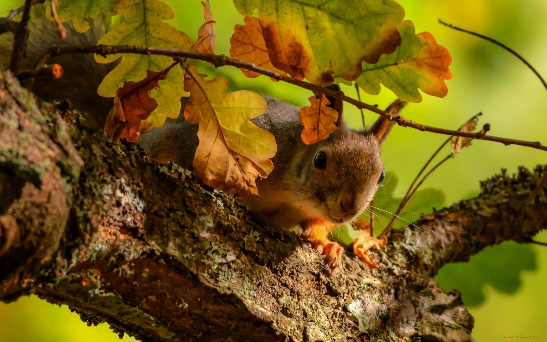 куала-лумпуре фото белки на дереве осень мохер